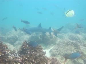 Tiburón de aleta blanca